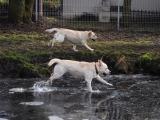 labradory uwielbiają staw