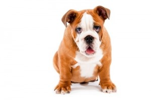 Bulldog. Image courtesy of photostock / FreeDigitalPhotos.net